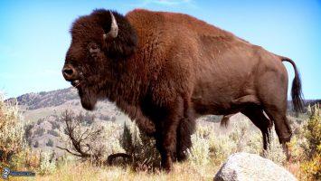 El Búfalo Sagrado