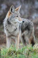 El Coyote que ladra